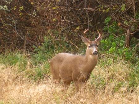 Wildlife abounds at Ocean Shores.  Again, just outside our home, we came across this buck on the way back from the beach.  He was fearless!