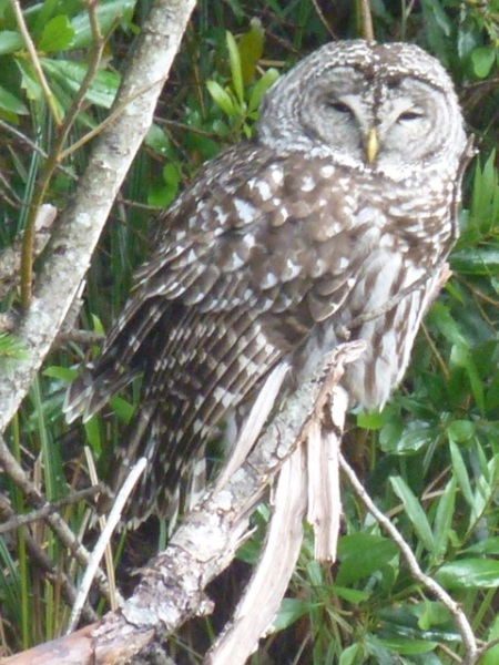 Rick took this photo of a barred owl.  The owl was on a low branch just off the road outside our home.
