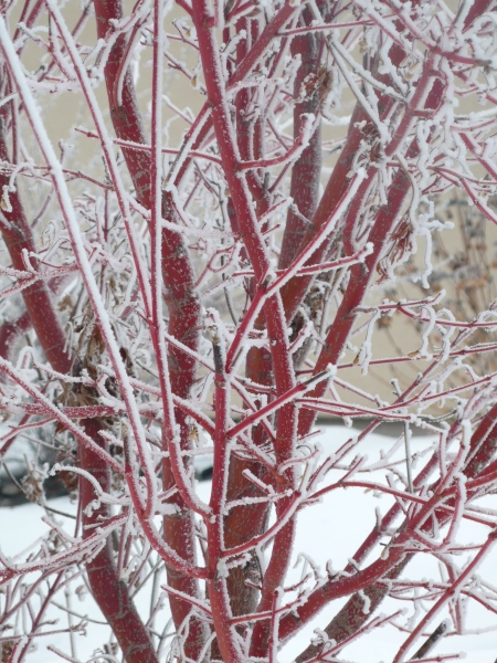 second view of frosted maple twigs