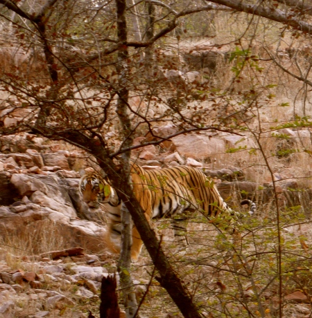 The elusive Royal Bengal Tiger in Ranthambore!  Absolutely thrilling to see!