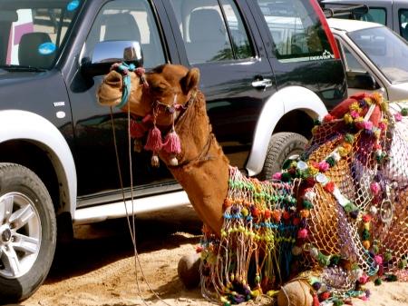 Camel next to Car!