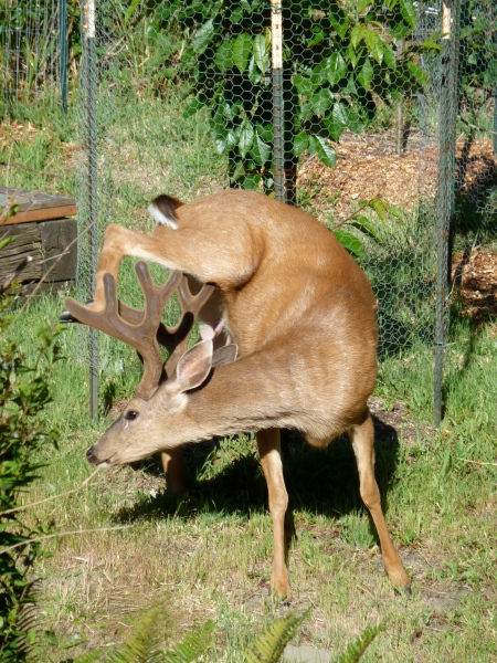 Scratch that Itch! Velvety antlers on a buck at Little Renaissance, Ocean Shores.