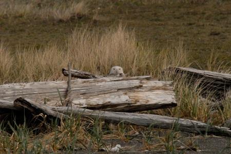 Peeking behind Driftwood: Snowy Owl