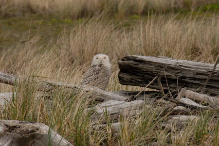 Snowy Owl at Ocean Shores!  How lucky we feel every time we see these owls!