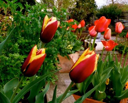 Simone's tulips!