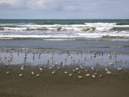 Shorebirds and Pacific Ocean