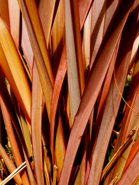 Red Flax: Daphne is going to teach me how to weave baskets using all the various grasses growing in out garden!