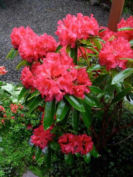 Rhododendrons for Mother's Day