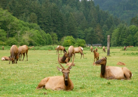 A field of ELK!