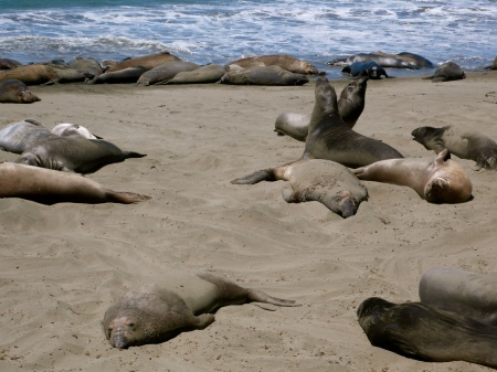 Elephant Seals lined up at Surf and on Beach