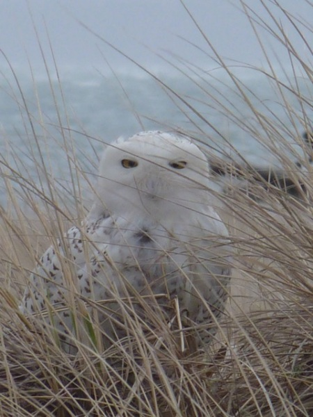 snowy owl at Damon Point, Ocean Shores, WA