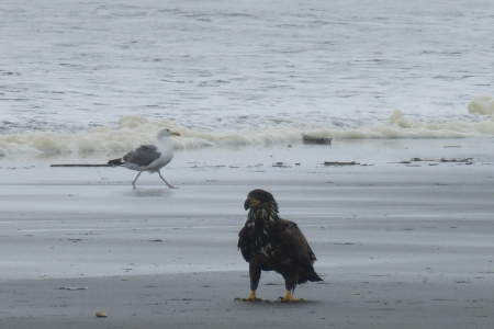 Here's a juvenile eagle right on the beach! (photo by Rick Clark)