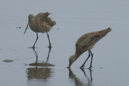 Rick's sharp photo of two godwits.  (You've got to love the names for birds!)